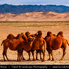 Asia - Mongolia - Монгол улс - Gobi Gurvansaikhan National Park - Говь гурван сайхан байгалийн цогцолбор газар - Gobi three beauties nature complex - Gobi Desert - Endless Sea of Khongor Sand Dunes - Singing Dunes - Largest & most spectacular sand dunes in Mongolia - Up to 800 m high, 20 km wide & about 100 km long - Mongolian Bactrian camel - Large, two humps on its back is native to the steppes of central Asia