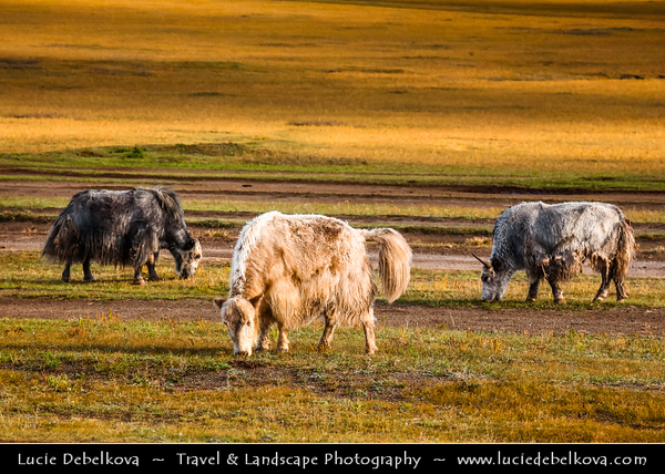 Asia - Mongolia - Монгол улс - Land of Vast Steppes & Kind Nomads - Khövsgöl Province - Хөвсгөл - Northernmost of the 21 provinces - Journey to Lake Khövsgöl - Yaks - Long-haired bovine found throughout the Himalayan region of south Central Asia, the Tibetan Plateau and as far north as Mongolia and Russia