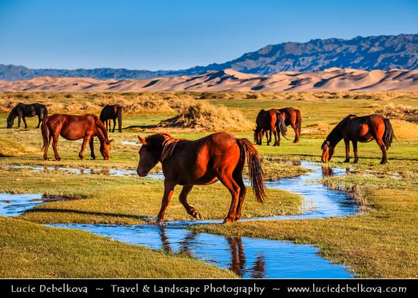 Asia - Mongolia - Монгол улс - Gobi Gurvansaikhan National Park - Говь гурван сайхан байгалийн цогцолбор газар - Gobi three beauties nature complex - Gobi Desert - Endless Sea of Khongor Sand Dunes - Singing Dunes - Largest & most spectacular sand dunes in Mongolia - Up to 800 m high, 20 km wide & about 100 km long - Mongol horse - Адуу