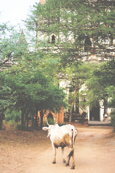 Cow wandering the pagodas. April 2015