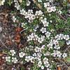 Cotoneaster microphyllus var. thymifolius