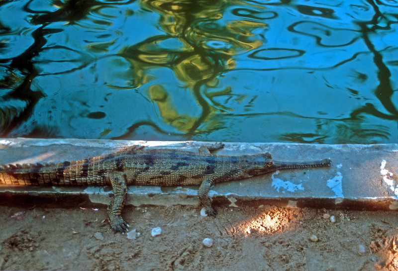 This crocodile is endangered and this individual is part of a reintroduction program for the rivers of the Chitwan