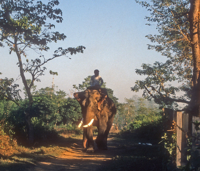 The kings elephants report for work in the Chitwan.