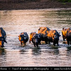 Asia - Nepal - Royal Chitwan National Park - UNESCO World Heritage Site - Oldest national park in Nepal situated in subtropical inner Terai lowlands of South-Central Nepal at foot of Himalayas - Wild water buffaloes crossing Rapti River