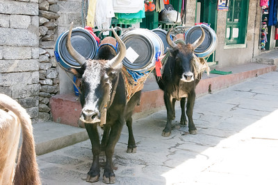 Yak-cow hybrid used to carry all kind of loads up the mountain.