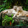 Singapore - Singapore Zoo - 新加坡动物园 - Singapore Zoological Gardens - Mandai Zoo - White Tiger