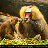 Singapore - Singapore Zoo - 新加坡动物园 - Singapore Zoological Gardens - Mandai Zoo -