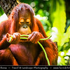 Singapore - Singapore Zoo - 新加坡动物园 - Singapore Zoological Gardens - Mandai Zoo - Orangutan - Great Ape & Largest living arboreal animal