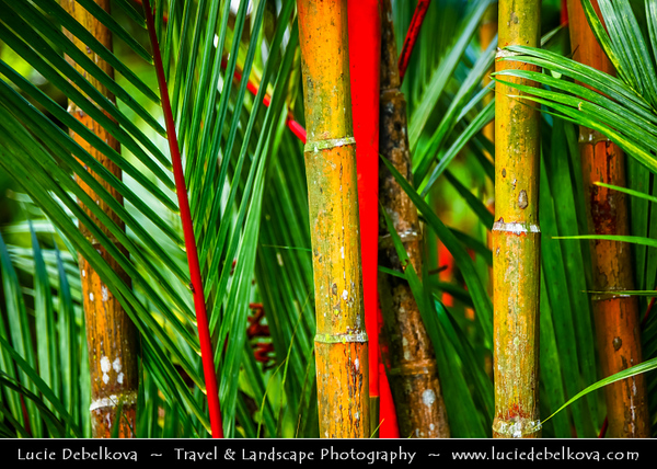 Singapore - Singapore Botanic Gardens - Lush tropical forest in heart of the City - Bamboo Trees