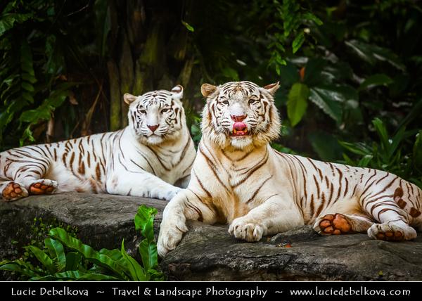 Singapore - Singapore Zoo - 新加坡动物园 - Singapore Zoological Gardens - Mandai Zoo - White Tiger
