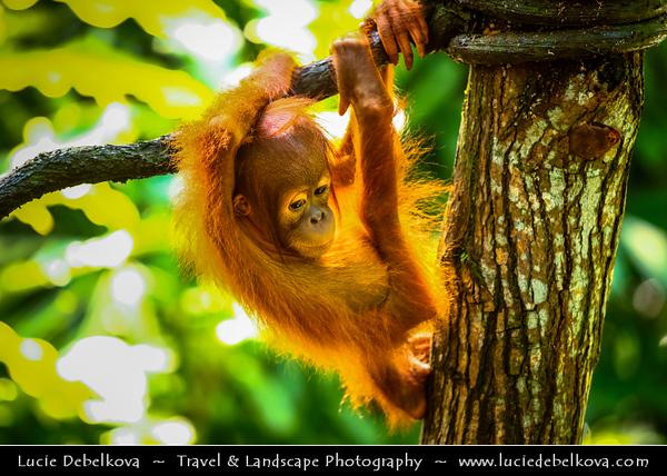 Singapore - Singapore Zoo - 新加坡动物园 - Singapore Zoological Gardens - Mandai Zoo - Orangutan - Great Ape & Largest living arboreal animal