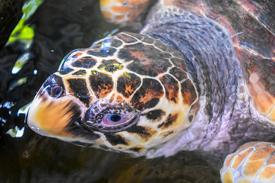 Loggerhead turtle rescued after being tangled in a net.