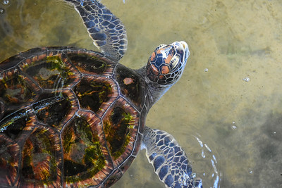Hawksbill turtle is endangered because its shell is colorful and used for decorative items.