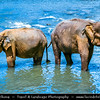Asia - Sri Lanka - Ceylon - The Pearl of the Indian Ocean - Emerald Isle - Island with tropical forests & diverse landscapes with high biodiversity - Pinnawala Elephant Orphanage - Orphanage, nursery and captive breeding ground for wild Asian elephants