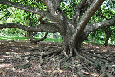 Peradeniya - Spreading Roots of a Weeping Fig Tree