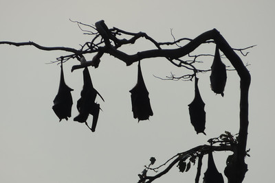 Bothale -  Indian Flying Fox's Silhouettes