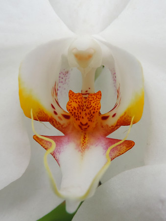 Peradeniya - Close Up Moth Orchid