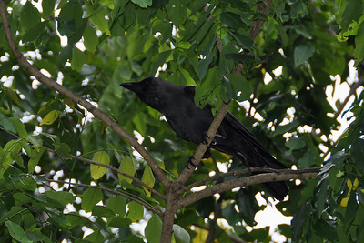 Kandy - House Crow