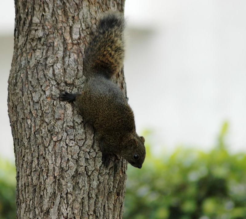 Tsin Hua university squirrel.. oh, no, Taiwanese Black Squirrel