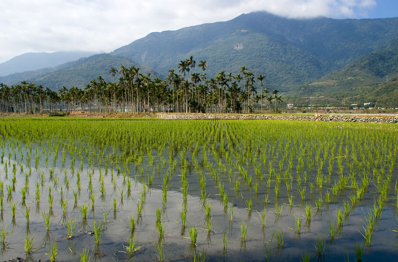 Rice fields with betal nut trees in the background