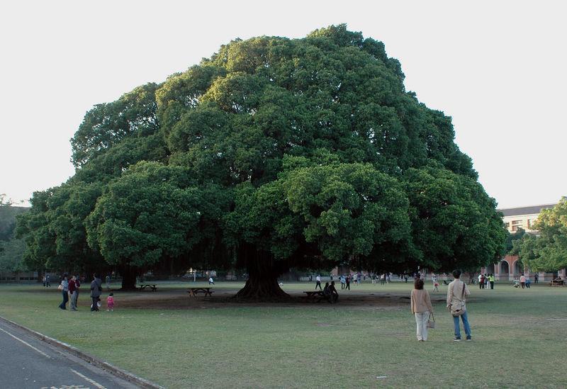 The landmark Benyen tree at Cheng-Kung University