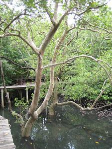 mangrove_3