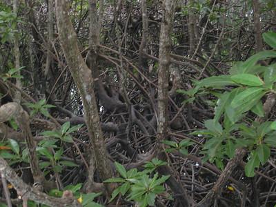 mangrove_4