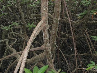 mangrove_5