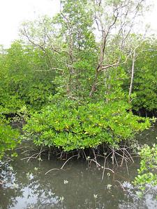 mangrove_7