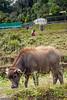 Young water buffalo