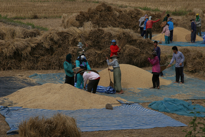 Rice Harvest Pha Sua Valley Mae Hong Son Province