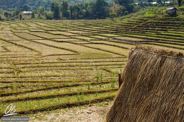 Rice fields during fallow