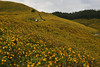 Hillside of Sunflowers