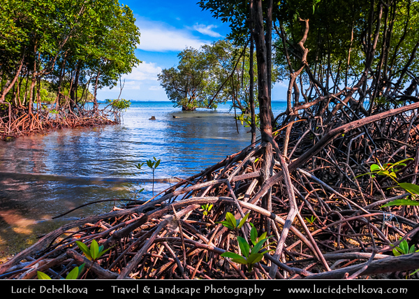 Thailand - Krabi - Railay Beach - Mangrove Forest at intersection of land and sea - Mangrove forests support a wealth of life - Trees that live along tropical coastlines, rooted in salty sediments, often underwater