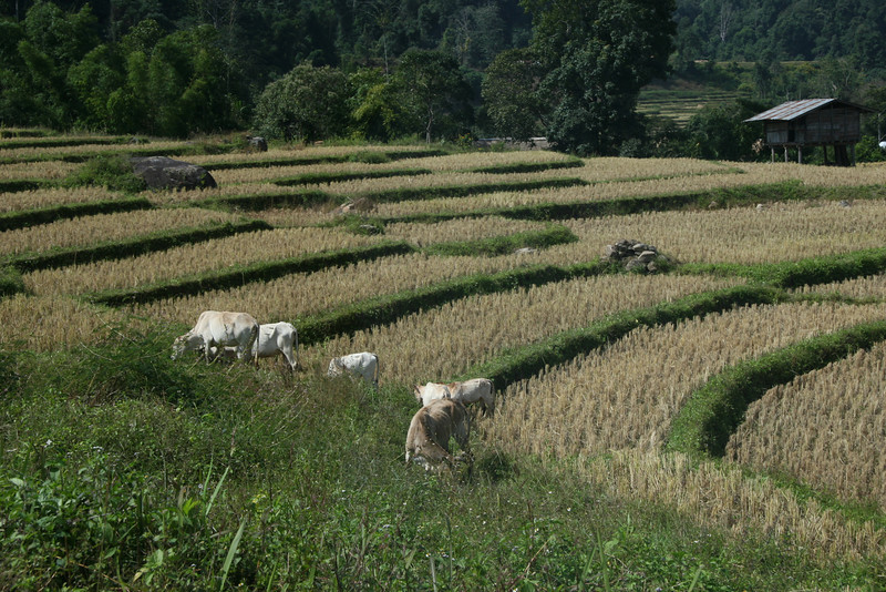White Karen Rice fields inside Doi Inthanon National Park