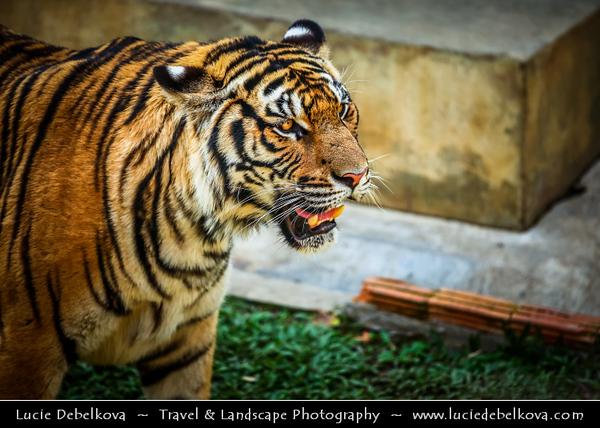 Thailand - Chiang Mai - Tiger adventure