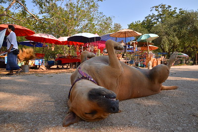 Just one of the many; Sleeping dogs of Thailand. © 898 Photography 2014
