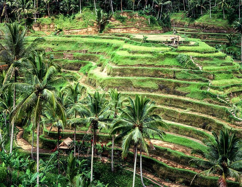 Terraced Rice Paddies On Bali