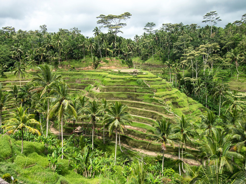 Hillside Rice Paddies On Bali