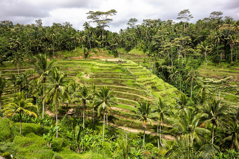 Bali Rice Paddies In Terraces