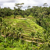 Bali Rice Paddies In Terraces