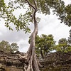 Spung Tree at Ta Prohm Temple