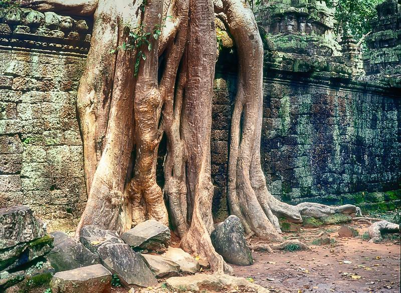 Tree Roots At Ta Prohm