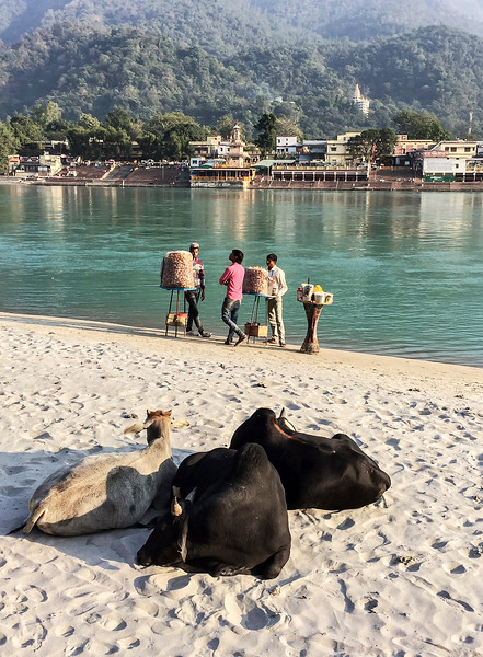 Three Sacred Cows In Rishikesh