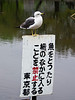 "A single seagull is perched on a sign marked ""No Fishing"" in one of the lakes in Ueno Park in Tokyo, Japan."