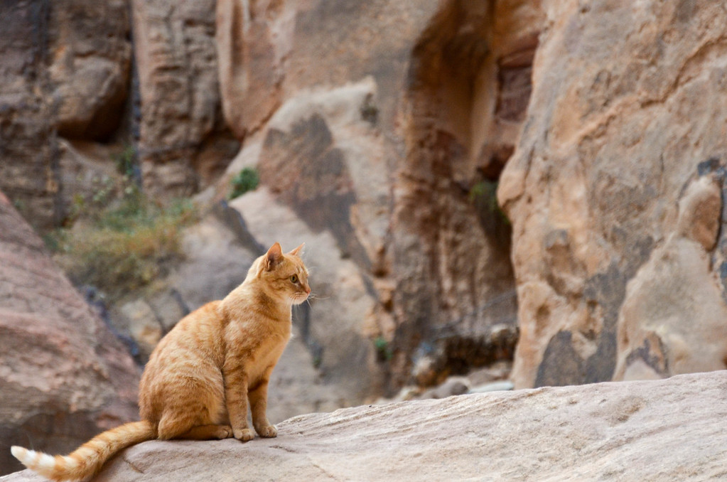 Cat in the Siq at Petra.