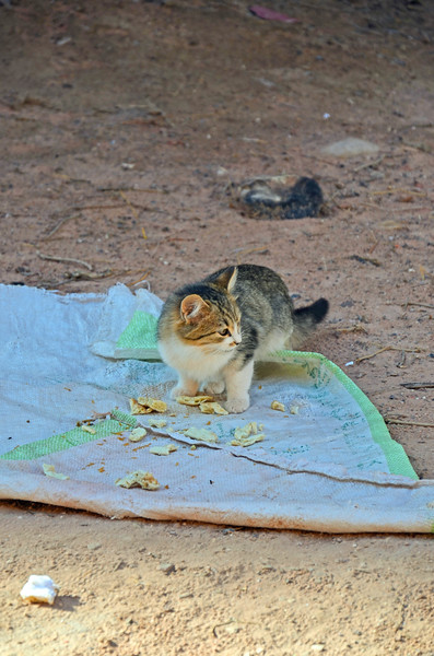 A kitten at Wadi Farasa eats meat given to him by one of the Bedouin women.