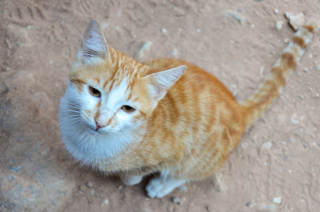 One of the Petra cats, in the plaza in front of the Treasury.