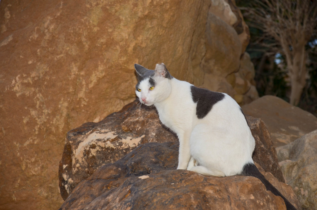 One of the many cats that were hanging out around the patios and beach area at the Jordan Valley Marriott Resort & Spa.