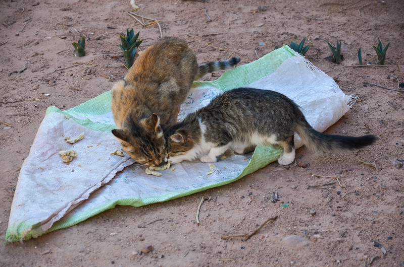Cats at Wadi Farasa eat meat given to them by one of the Bedouin women.